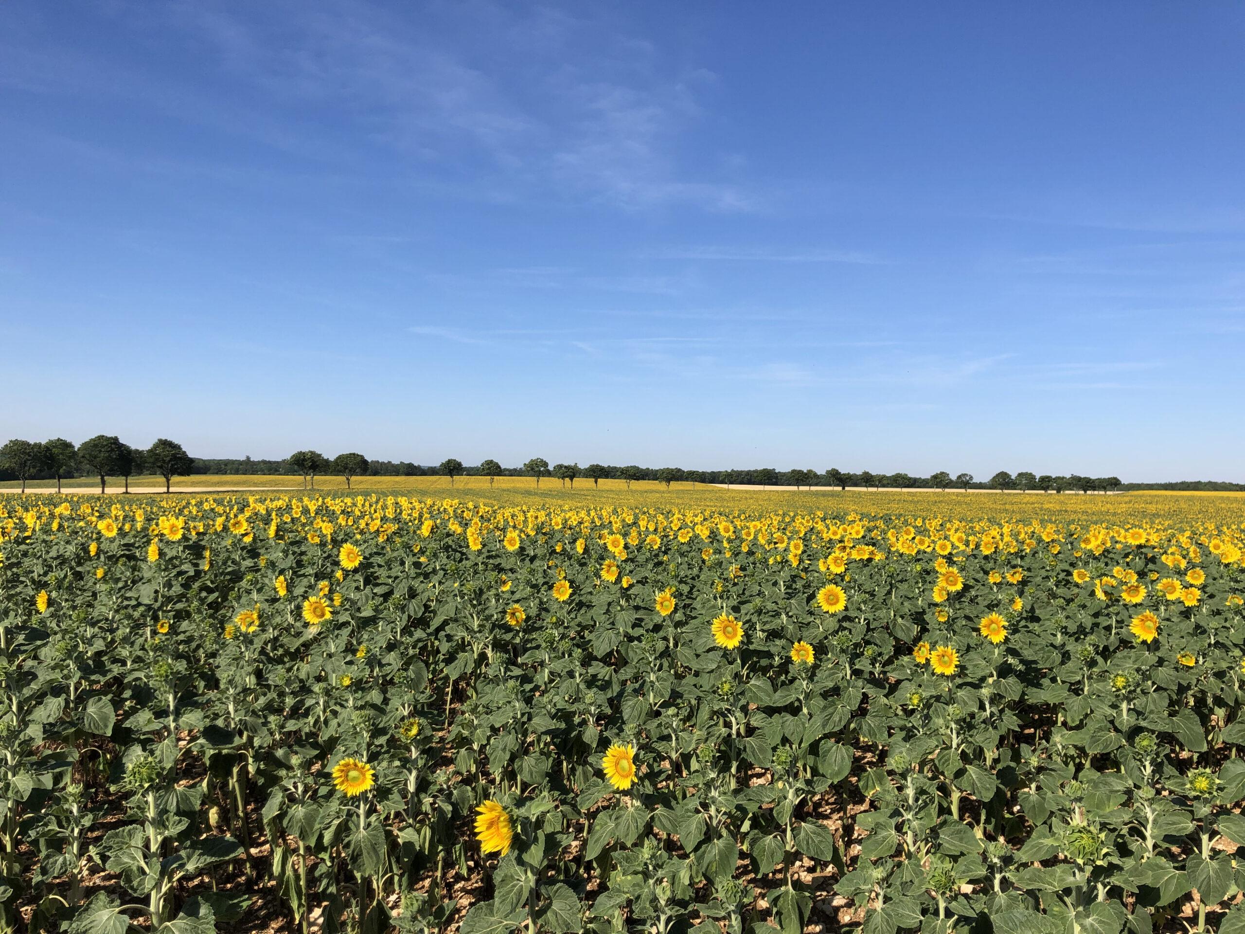 Sonnenblumen in Frankreich